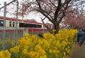 菜の花と電車と桜②