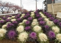 葉牡丹孔雀の花壇