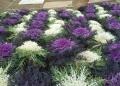 上から見た葉牡丹孔雀の花壇