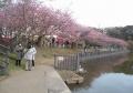 土手の河津桜①