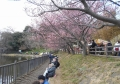 土手の河津桜②