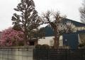 民家の庭先の梅