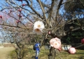 一週間前の白梅のつぼみ