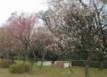 山崎公園の梅