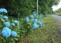 明月院(?)ブルー
