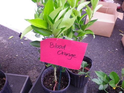 ブラッドオレンジ苗