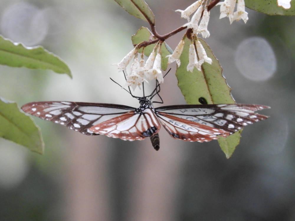 アサギマダラDSCN1375
