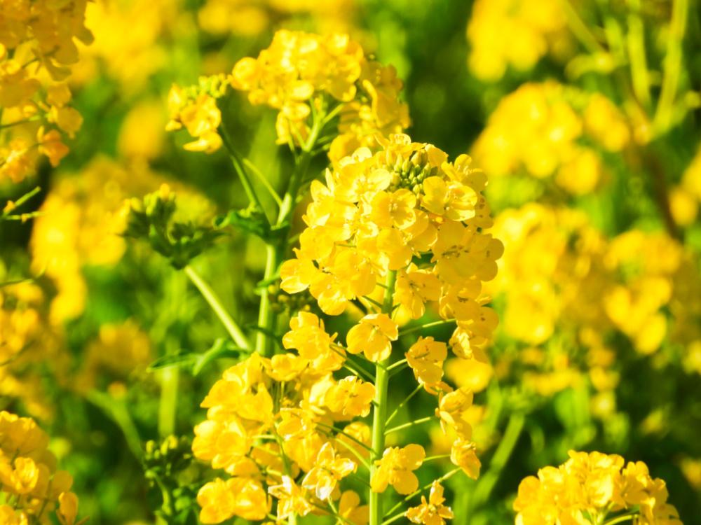 菜の花DSCN4987