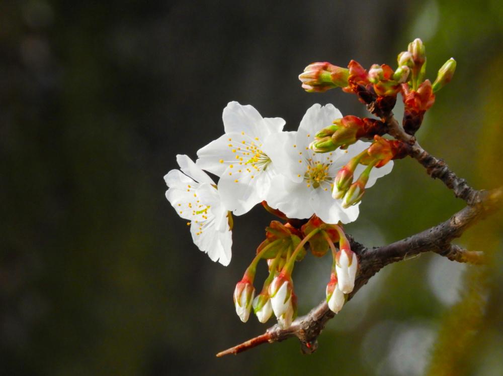 桜DSCN5535