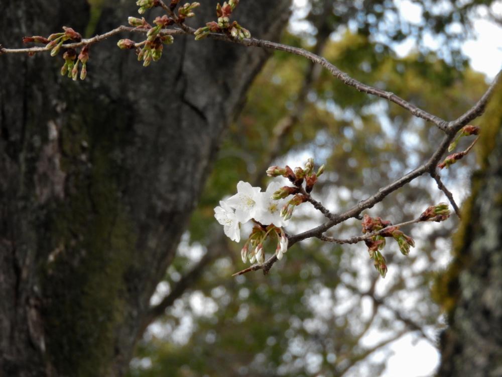 桜DSCN5534