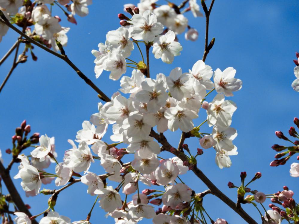 桜DSCN5539