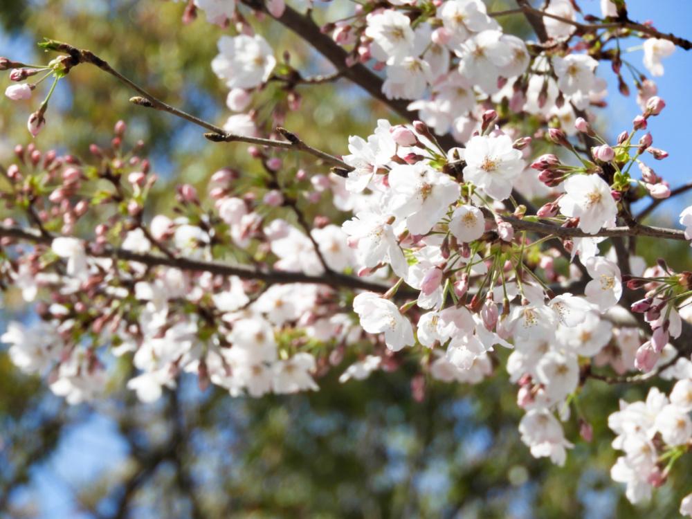 桜DSCN5540