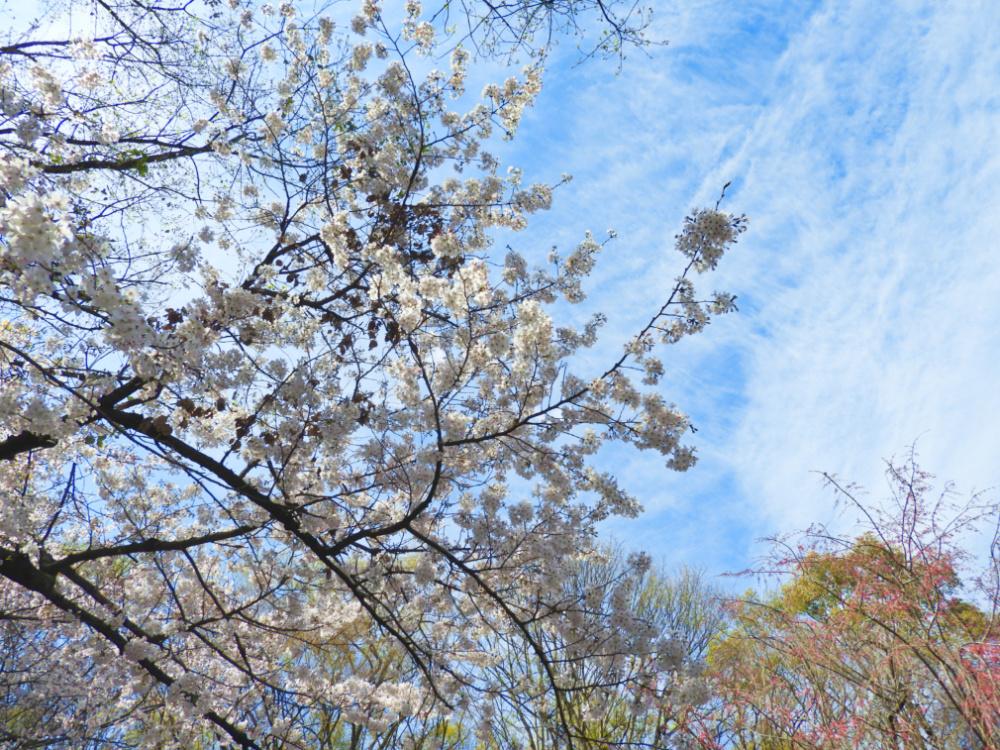 桜DSCN5541
