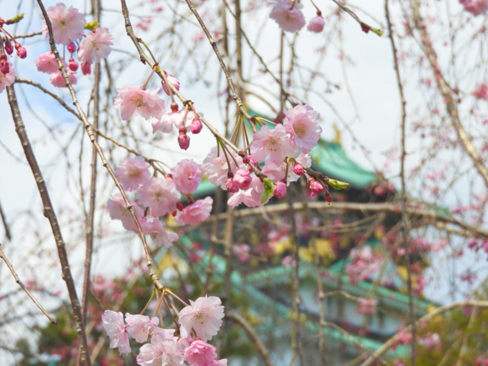 桜DSCN5568