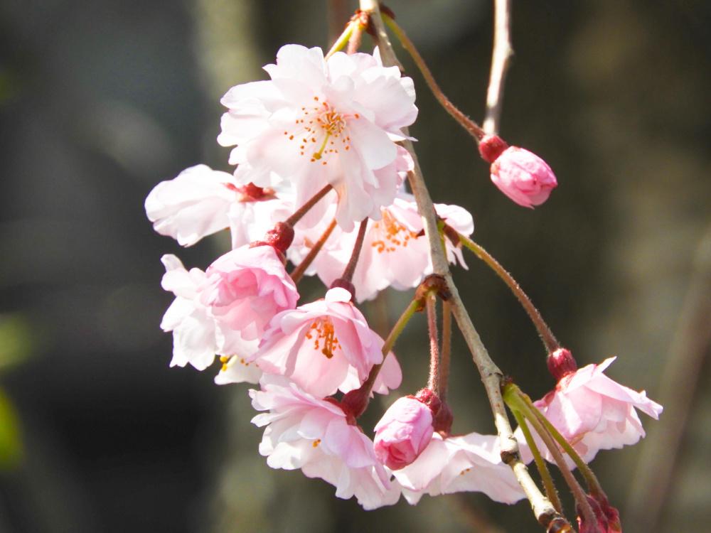 桜DSCN5573