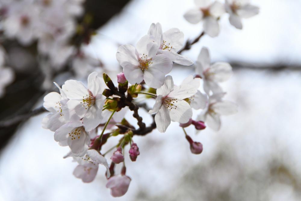桜DSC_4042