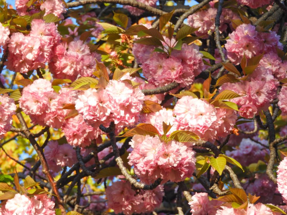 八重桜DSCN6069