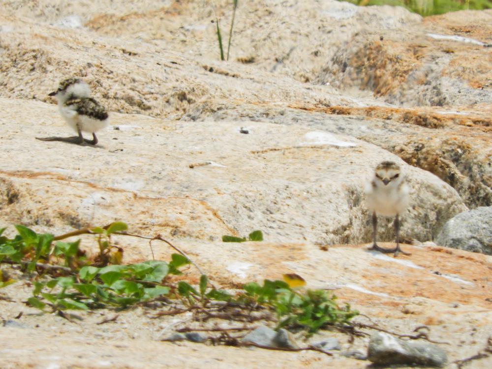 シロチドリの赤ちゃんDSCN8105