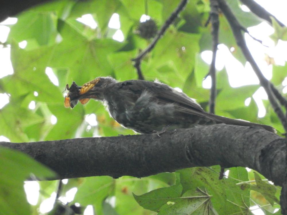 ヒヨドリ幼鳥DSCN8831