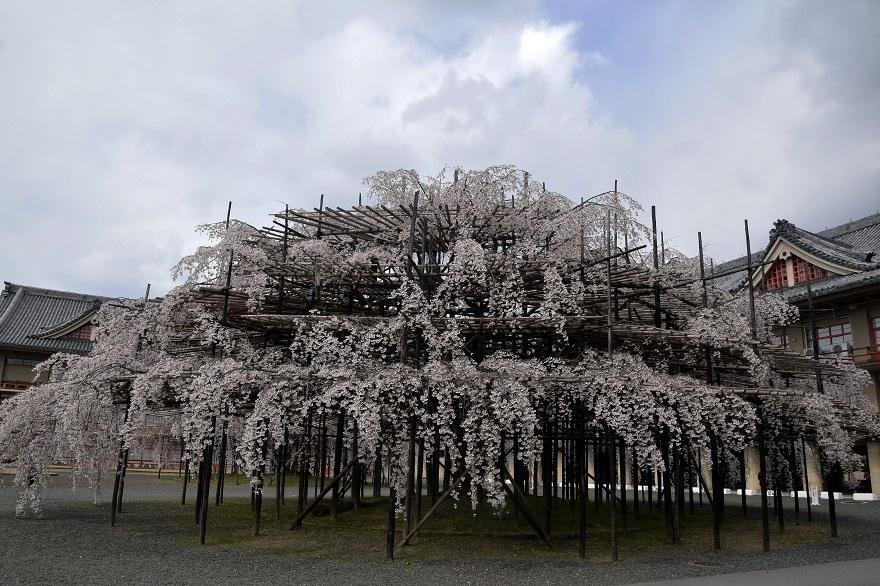 天理・枝垂れ桜 (0)