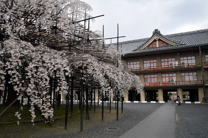 天理・枝垂れ桜 (1)