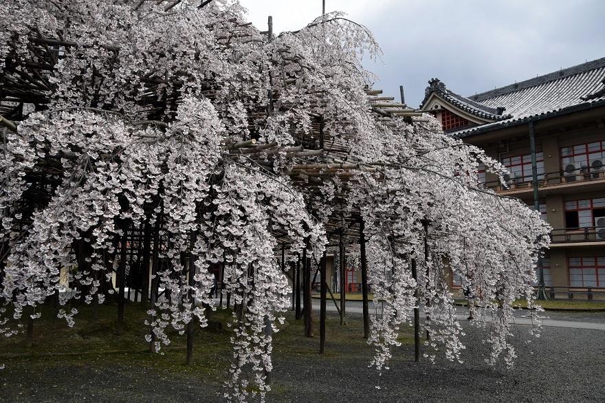 天理・枝垂れ桜 (3)
