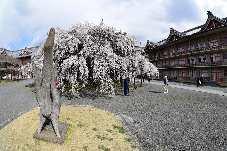 天理・枝垂れ桜 (5)