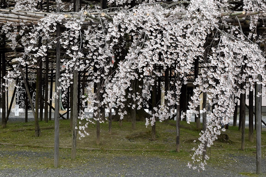 天理・枝垂れ桜 (7)