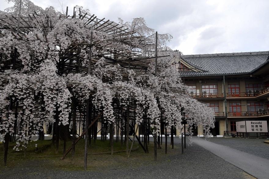 天理・枝垂れ桜 (9)