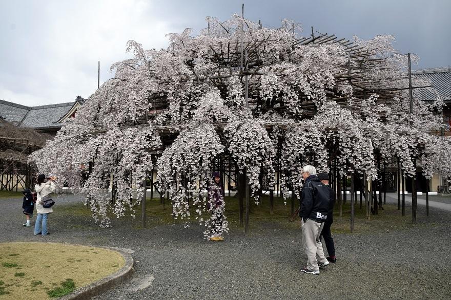 天理・枝垂れ桜 (10)