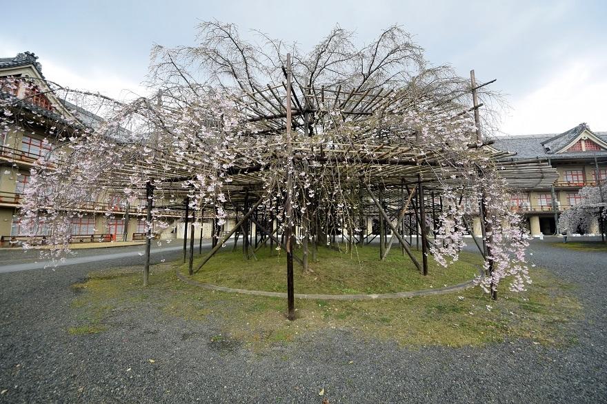 天理・枝垂れ桜 (12)