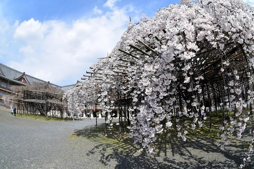 天理・枝垂れ桜 (13)