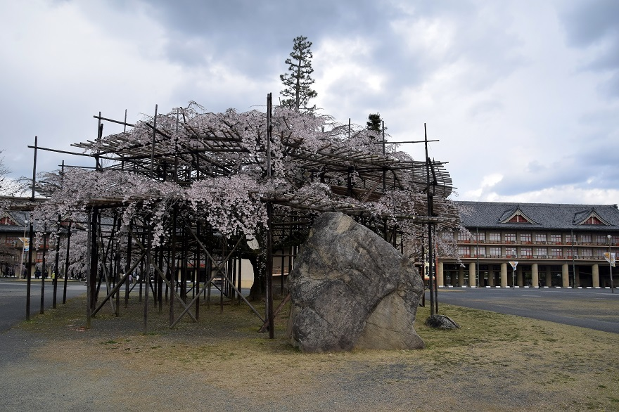 天理・枝垂れ桜 (18)
