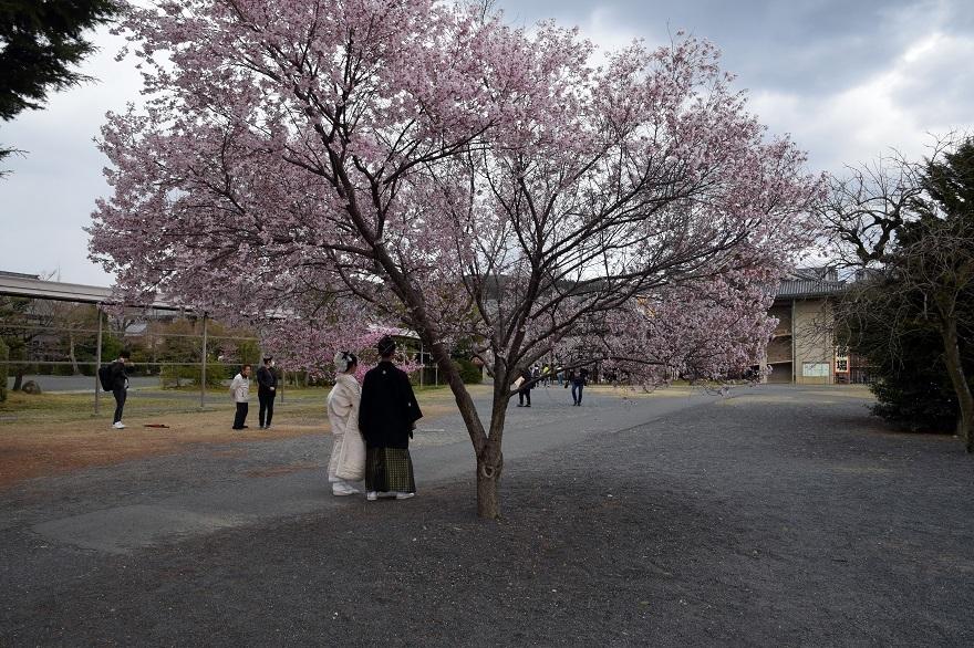 天理・枝垂れ桜 (19)