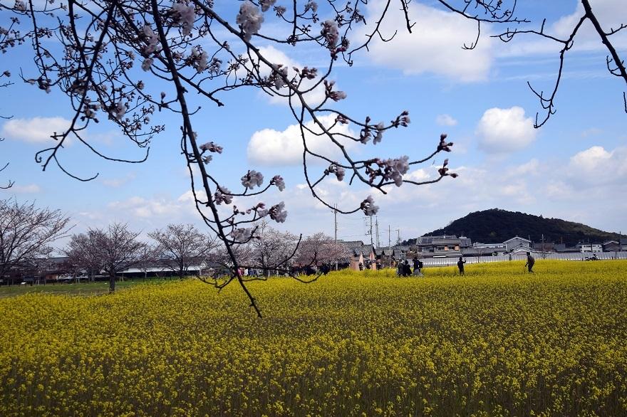藤原京跡・春19 (0)