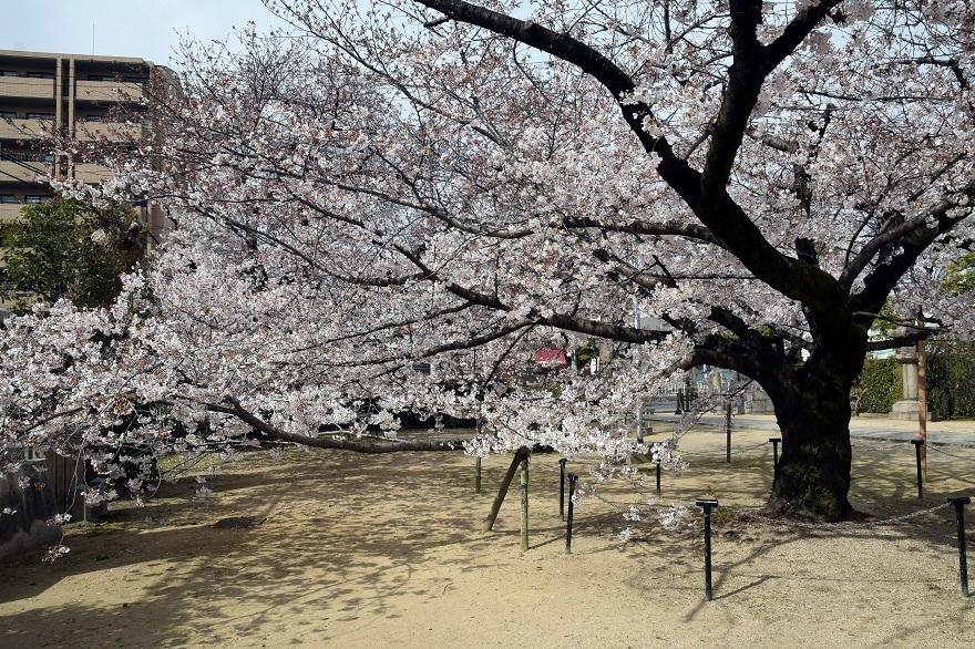大宮神社・桜 (0)
