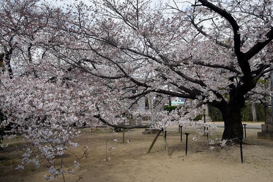 大宮神社・桜 (5)