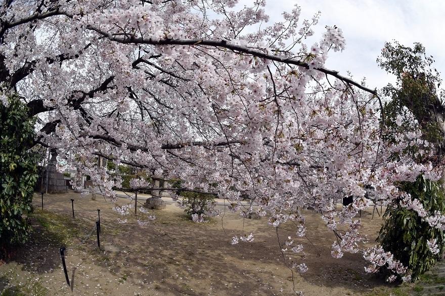 大宮神社・桜 (6)