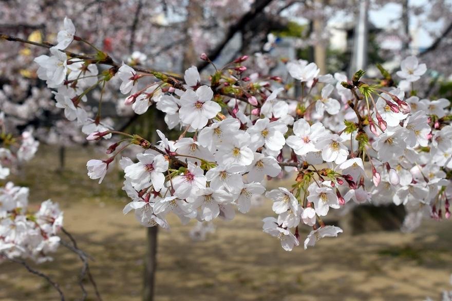 大宮神社・桜 (08)