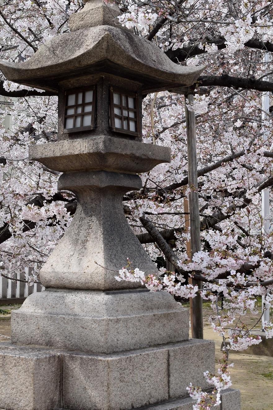 大宮神社・桜 (8)