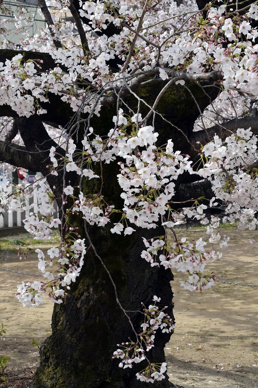大宮神社・桜 (9)