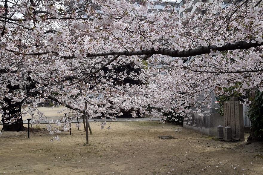 大宮神社・桜 (12)