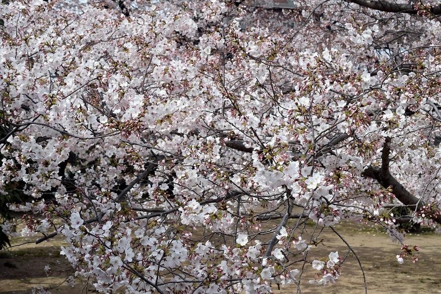 大宮神社・桜 (11)