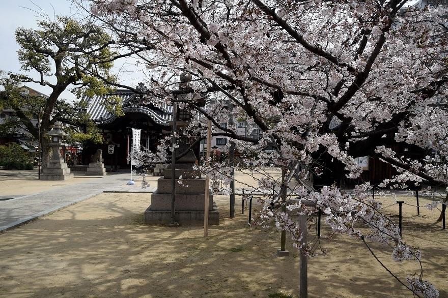 大宮神社・桜 (15)