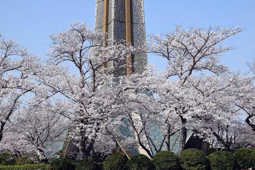 冥應寺・桜19 (0)