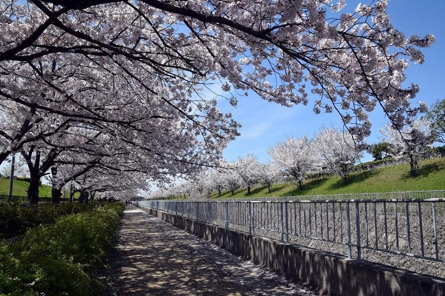大水川・桜19 (0)