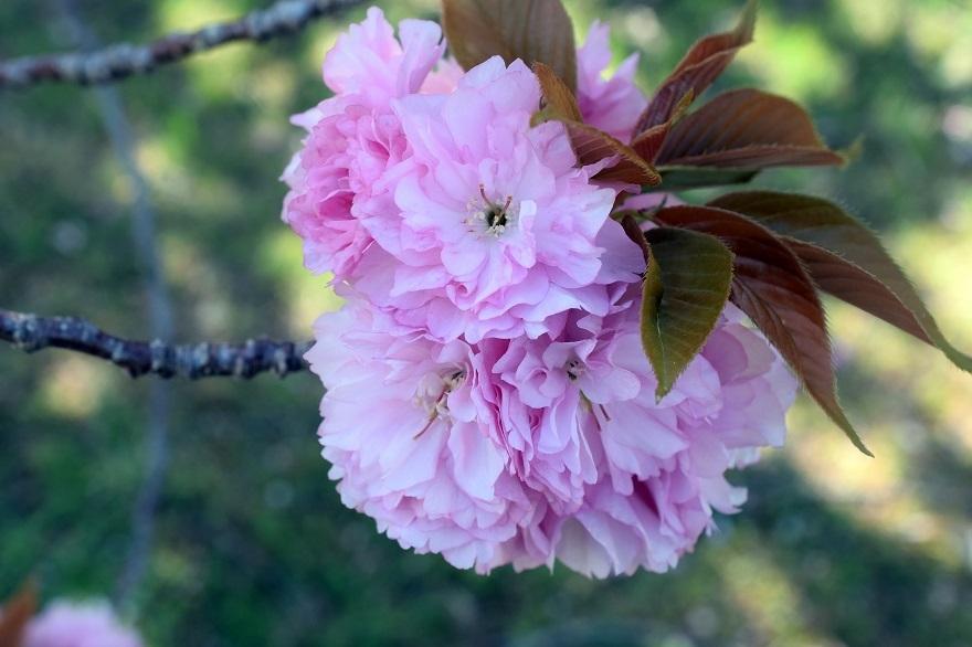PLの塔・桜19 (3)