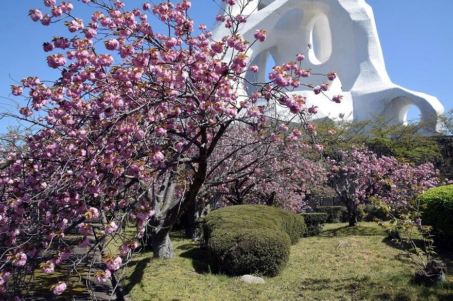 PLの塔・桜19 (14)