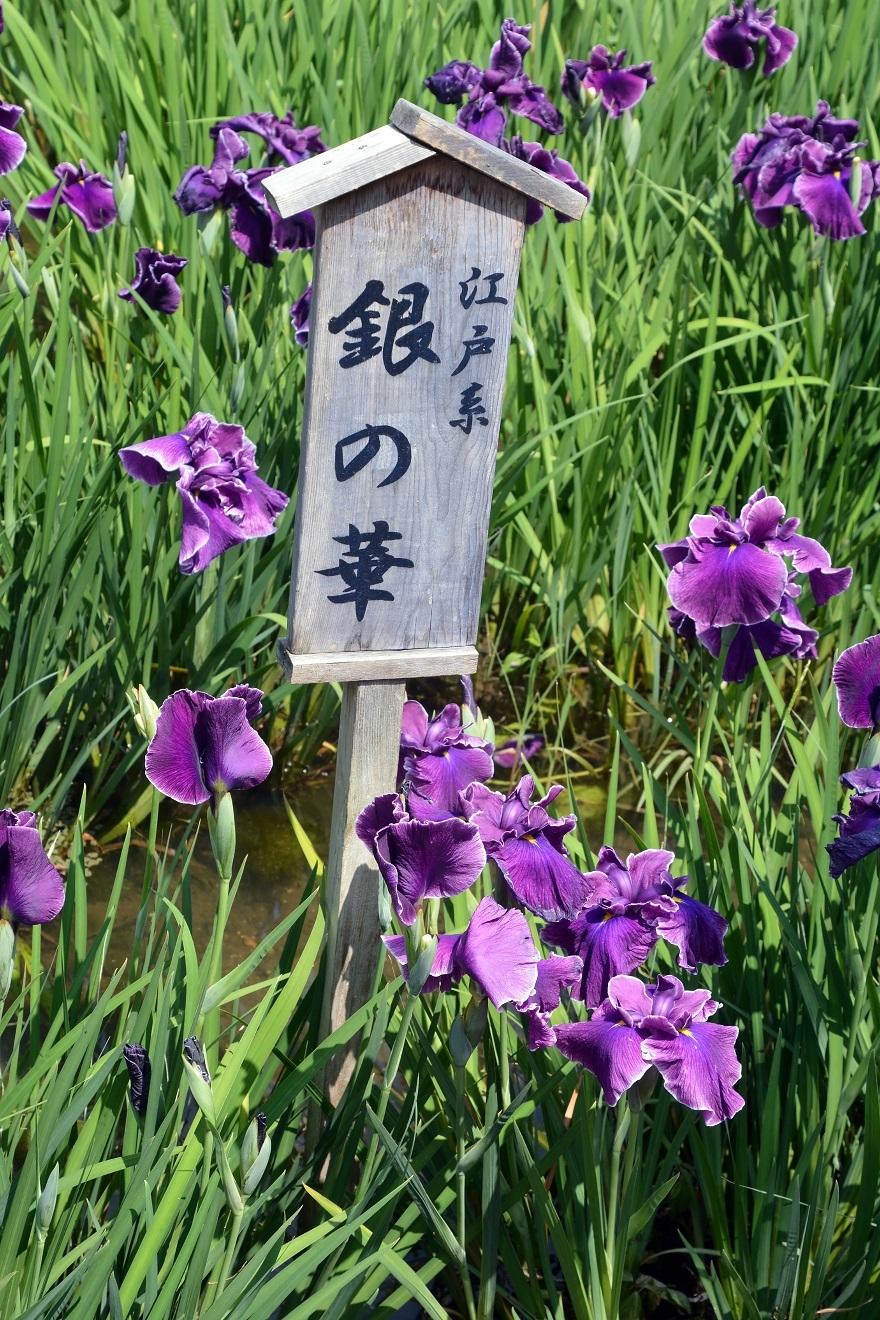 山田ハナショウブ19 (1)