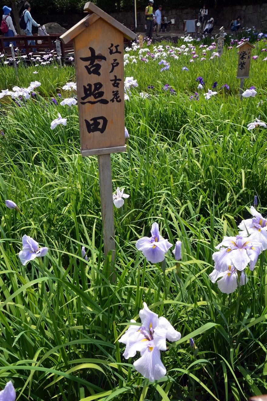 山田ハナショウブ19 (4)